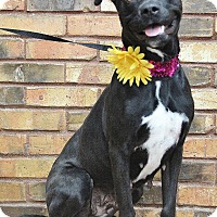 Adopt A Pet :: Misty - Benbrook, TX