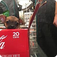 Adopt A Pet :: Betty (White) - Santa Ana, CA
