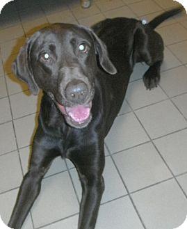 Labrador Retriever Dog for adoption in Jackson, Michigan - Hutch