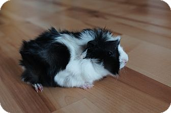 Guinea Pig for adoption in Brooklyn Park, Minnesota - Leo