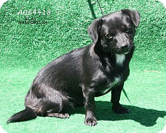Schipperke/Chihuahua Mix Dog for adoption in Edmonton, Alberta - Raven
