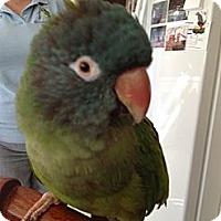 Adopt A Pet :: McGillis - St. Louis, MO