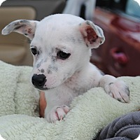 Adopt A Pet :: Chocolate - Palmdale, CA