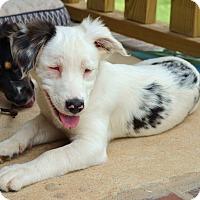 Adopt A Pet :: *Pearl - PENDING - Westport, CT