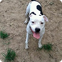American Bulldog/Staffordshire Bull Terrier Mix Dog for adoption in Houston, Texas - Shyla