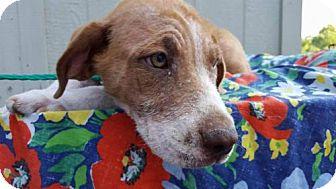 Hound (Unknown Type) Mix Dog for adoption in Whitestone, New York - Zita
