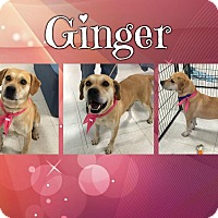 Adopt A Pet :: Ginger (reduced fee) - Brattleboro, VT