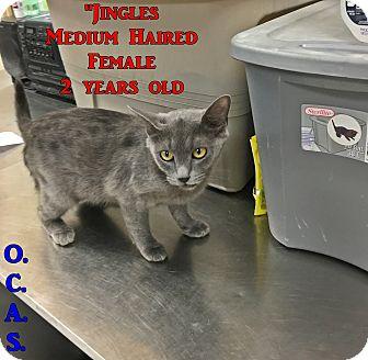 Domestic Shorthair Cat for adoption in Triadelphia, West Virginia - B-10 Jingles