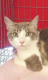 Domestic Shorthair Cat for adoption in Walnut Creek, California - Sophia