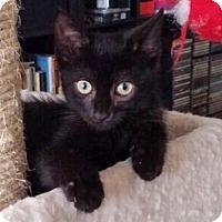 Adopt A Pet :: Boone the Bombay Baby - Brooklyn, NY
