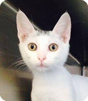 Turkish Van Kitten for adoption in Germantown, Maryland - Van