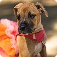 Adopt A Pet :: Bindi - Jacksonville, AL