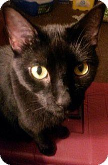 Bombay Cat for adoption in Ephrata, Pennsylvania - Loki