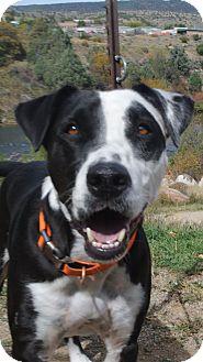 Labrador Retriever/American Pit Bull Terrier Mix Dog for adoption in Durango, Colorado - Oreo