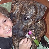 American Bulldog Mix Dog for adoption in Cincinnati, Ohio - Dutchess