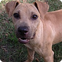 Shar Pei Mix Dog for adoption in Boston, Massachusetts - Junior