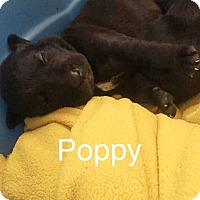 Adopt A Pet :: Poppy - Durham, NC