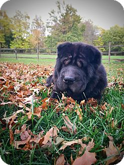 Shar Pei Dog for adoption in Philadelphia, Pennsylvania - DUDLEY!