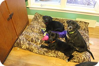 German Shepherd Dog/Labrador Retriever Mix Puppy for adoption in Laingsburg, Michigan - Daisey