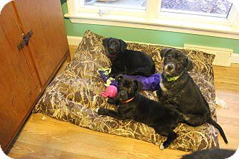 German Shepherd Dog/Labrador Retriever Mix Puppy for adoption in Laingsburg, Michigan - Daisey