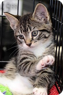 American Shorthair Kitten for adoption in Clinton, Louisiana - Roland
