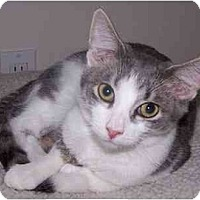Domestic Shorthair Cat for adoption in Sheboygan, Wisconsin - Malcolm