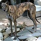 Adopt A Pet :: Krissy