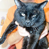 Adopt A Pet :: Bert Jr Fiv+ Sweetheart Chatty - McDonough, GA
