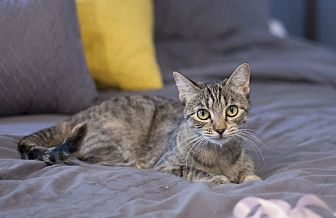 Domestic Shorthair Cat for adoption in Hoffman Estates, Illinois - Annabelle (FELV+) and dog friendly