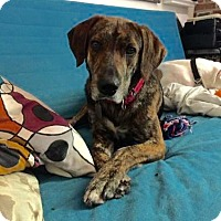 Adopt A Pet :: Julius - McKinney, TX
