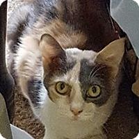 Calico Cat for adoption in McDonough, Georgia - Sedona