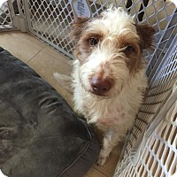 Jack Russell Terrier Mix Dog for adoption in Austin, Texas - Bruno