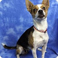 Adopt A Pet :: MUZZIE - Westminster, CO