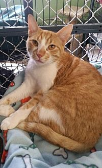 Domestic Shorthair Cat for adoption in Freeport, New York - Willy