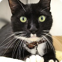 Domestic Shorthair Cat for adoption in Bradenton, Florida - Cody