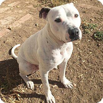 American Bulldog/Boxer Mix Dog for adoption in Fort Collins, Colorado - Butch (DENVER)