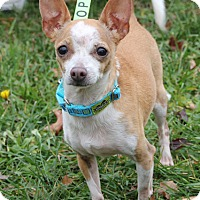 Chihuahua Mix Dog for adoption in Harrison, New York - Magnolia
