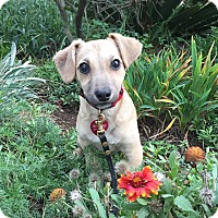 Terrier (Unknown Type, Small) Mix Puppy for adoption in santa monica, California - Dory
