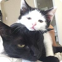 Adopt A Pet :: Miss Top Hat - Pasadena, CA