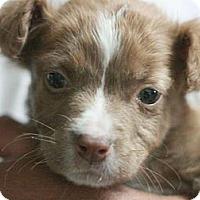 Adopt A Pet :: Cha Cha - Canoga Park, CA