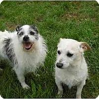 Adopt A Pet :: Chulo - Chicago, IL