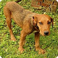 Adopt A Pet :: Desmond - Brattleboro, VT