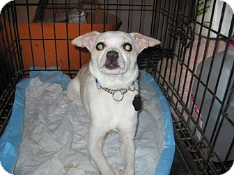 Chihuahua Mix Dog for adoption in DAYTON, Ohio - Khaki