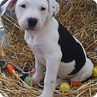 Adopt A Pet :: Pearl - Temecula, CA