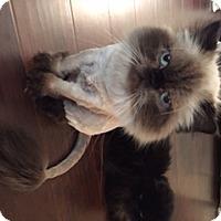 Adopt A Pet :: Zeraphine - Beverly Hills, CA