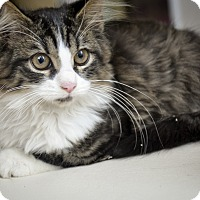 Adopt A Pet :: BUNNY (long haired kitten) - New Smyrna Beach, FL