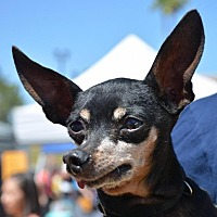 Miniature Pinscher Mix Dog for adoption in Phoenix, Arizona - Salty