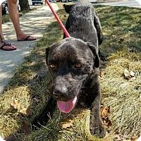 Adopt A Pet :: Max - ADOPTION PENDING!! - Arlington, VA