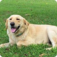Labrador Retriever Dog for adoption in Franklin, Tennessee - DIGGER
