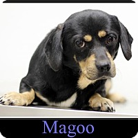 Adopt A Pet :: Magoo - Sullivan, IN
